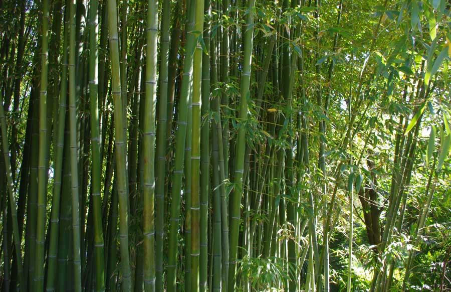 Bambu - Plantas Exóticas del Perú
