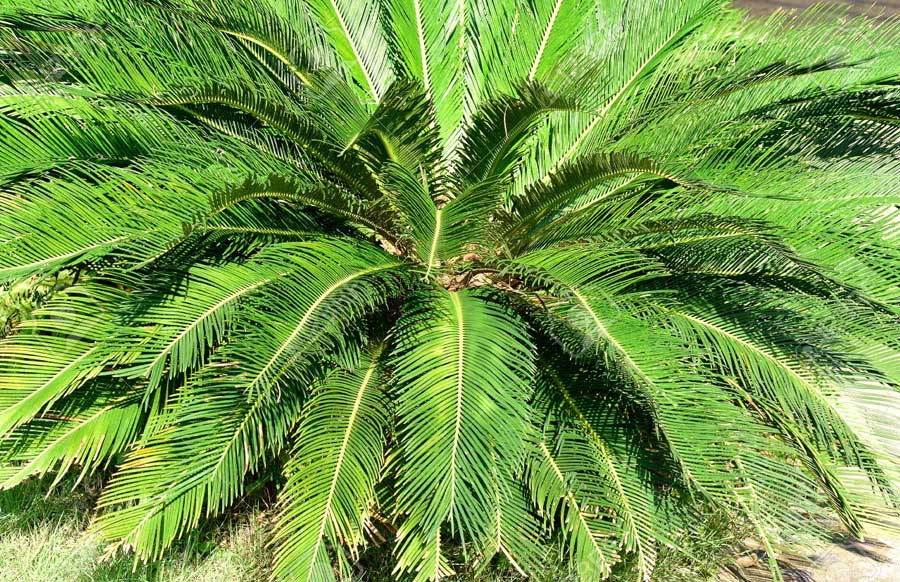 Cícadas Planta