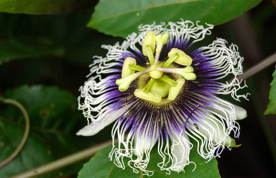 Flor de la Pasión